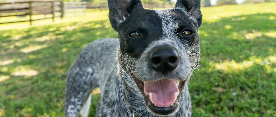 cachorro blue heeler pastoreiro