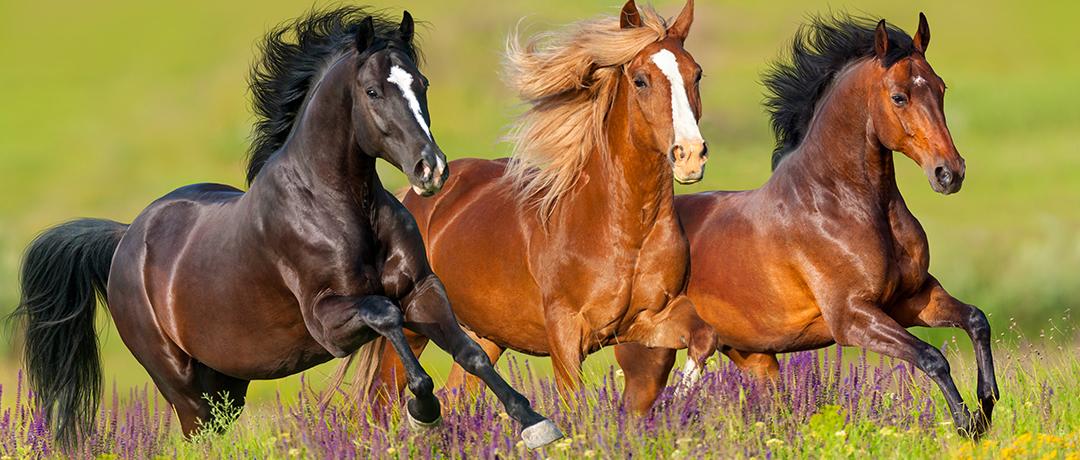 Dicas para cuidar da Crina de seu Cavalo
