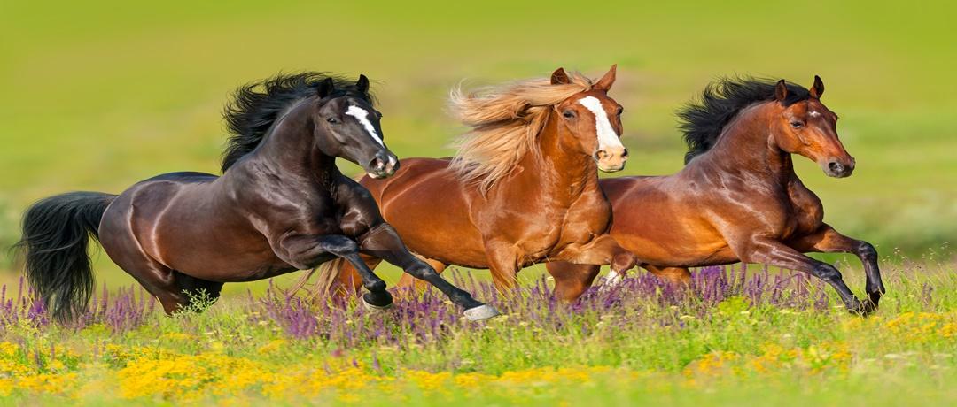 Espécies de Cavalos