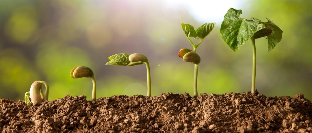Como Plantar Feijão