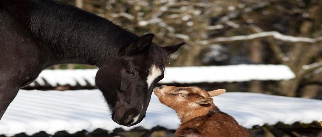 Cavalos e cabras