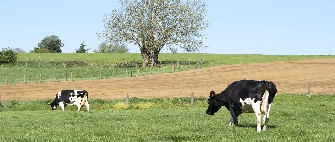 Capim para gado