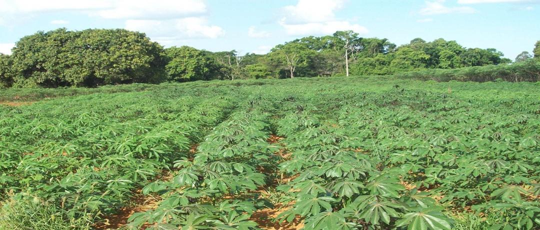 Plantação de mandioca